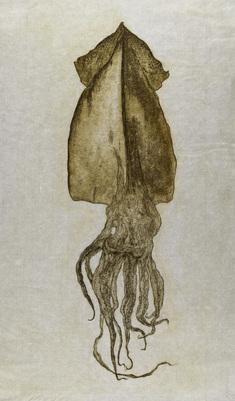 Pota (octopus/bläckfisk)