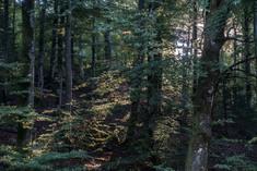 Glittrande bokskog